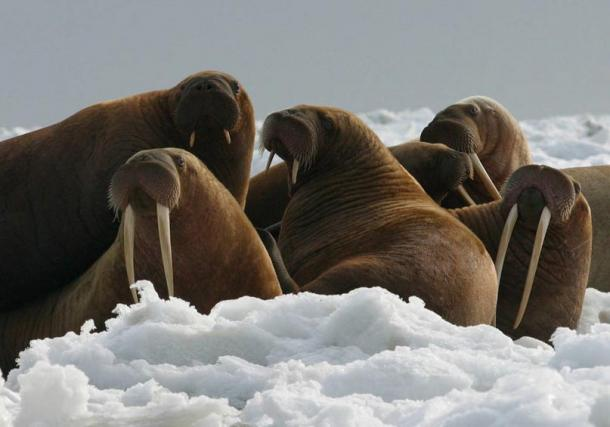 Walrus cows and yearlings (short tusks).