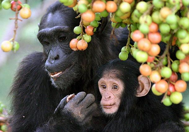 Adult female and infant wild chimpanzees feeding on Ficus sur fruits in Kibale National Park, Uganda.