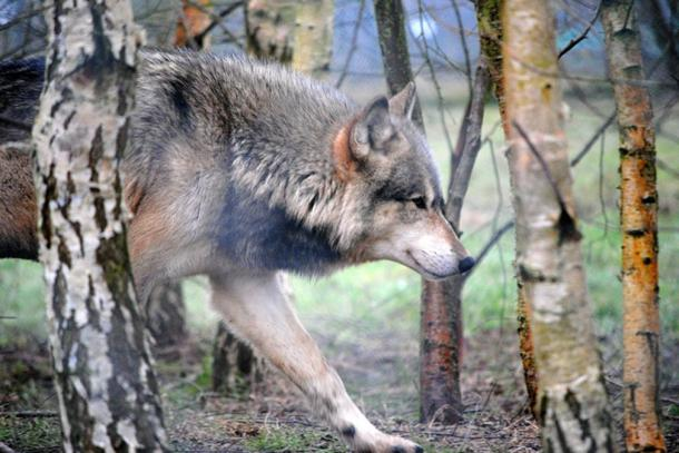 A wolf at the UK Wolf Conservation Trust.