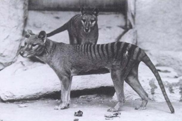 The wolf-like thylacine. (Public Domain)