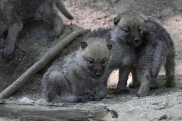 Arctic wolf pups (Canis lupus arctos), also known as the white wolf or polar wolf, a subspecies of the gray wolf native to Canada's Queen Elizabeth Islands. (spacebirdy / CC BY-SA 3.0)