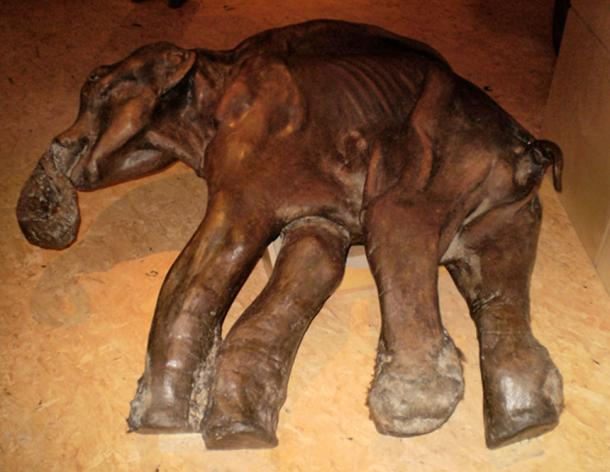 The woolly mammoth can theoretically be resurrected using samples taken from mummified remains preserved in permafrost
