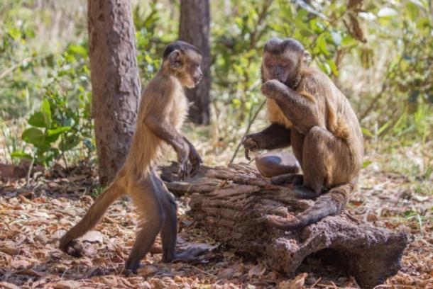 Young capuchin monkey observes adult male monkey eating nuts cracked open using a stone tool. Luca Antonio Marino, CC BY-ND
