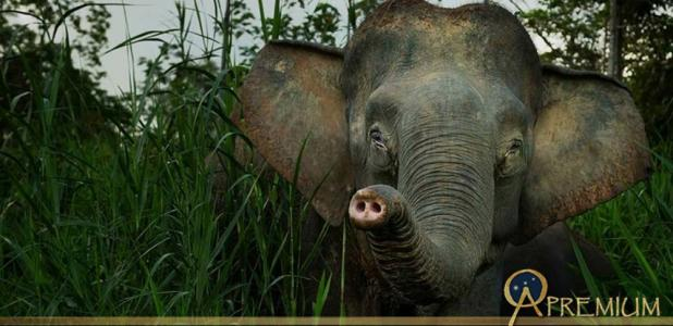 The Borneo elephants are about 70% smaller than the Asian elephant, with a long tail hanging down to the ground and a relative short trunk. Their faces are baby-like with a cute appearance. (Image © Willem Daffue)