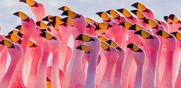 Flamingoes have been admired throughout history.   Source: CC BY 2.5