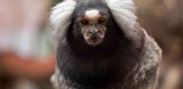 Monkeys Genetically Engineered with Human Brains!