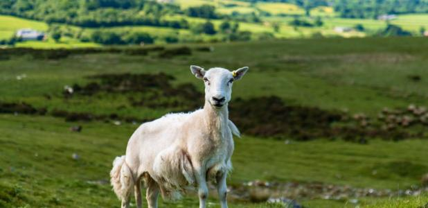 Sheep accused of damaging Offa's Dyke. Source: whitcomberd / Adobe Stock.