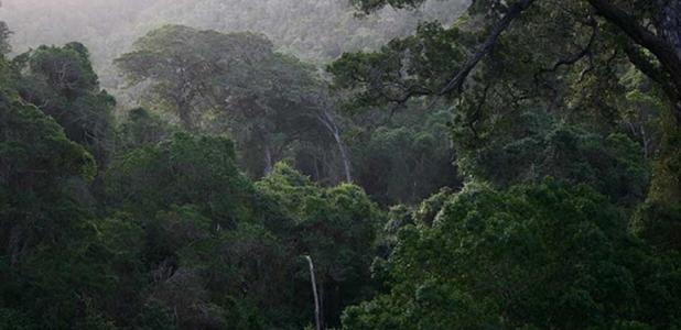 Large trees in image are Yellowwood (Afrocarpus falcatus=Podocarpus falcatus) by Androstachys