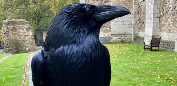 The Prophecy Of The Tower Of London Ravens: Less Than Six Means Doom