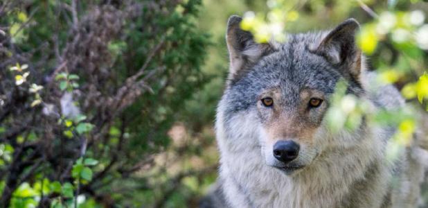 Grey wolf.   Source: Jon Anders Wiken /Adobe Stock