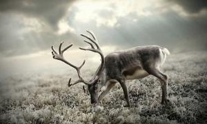 A reindeer. Credit: Wallpaperscraft