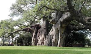 Giant Boabab Tree