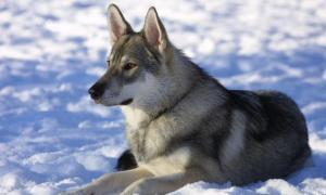 A Tamaskan dog. Tamaskan have wolf-like appearances.