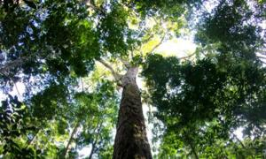 The Amazon's new record-breaking tree. Source: Tobias Jackson