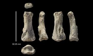 Fossil finger bone of Homo sapiens from the Al Wusta site, Saudi Arabia.