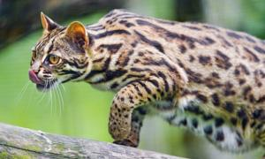 An Asian leopard cat