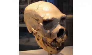 Neanderthal skull at Atapuerca - Spain