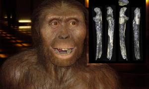 A. afarensis reconstruction, an adult left ulna of Australopithecus afarensis. Several fossilized teeth have also been found in the Kantis site. Credit: Image courtesy of Kyoto University