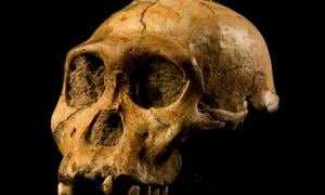 """Skull of Malapa hominid 1 (MH1) from South Africa, named """"Karabo"""". The combined fossil remains of this juvenile male is designated as the holotype for Australopithecus sediba.  Source: CC BY-SA 4.0"""