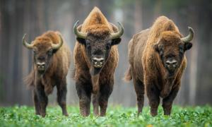 Experts have examined the long-term environmental impact of prolonged warfare and regime change during the Baltic Crusades, revealing clues to a model for rewilding. Pictured: the iconic European bison who were brought back from the brink of extinction through rewilding in Poland.          Source: szczepank / Adobe stock
