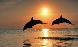 Bottlenose Dolphin, dolphins jumping at sunset.
