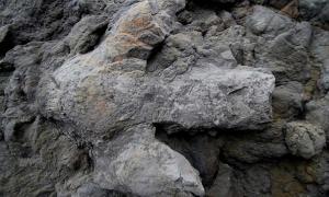 A large Iguanodontian footprint.
