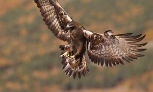 Golden eagle, majestic bird revered by Neanderthals who used eagle talons to make jewelry.