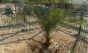 Resurrected Judean date palm in Israel