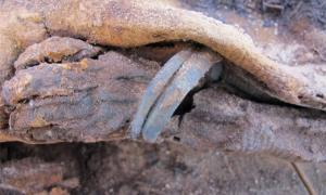 The arm and hand of a young infant wearing a bracelet found at Fag el-Gamous