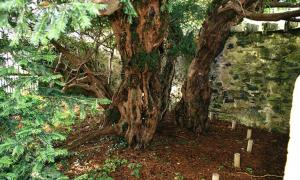 The Fortingall Yew is the oldest living thing in Europe. The original size of the trunk is marked by the wooden poles. Source: Moeng / CC BY-SA 3.0