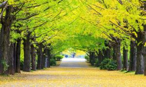 Scientists Crack Secrets of Ginkgo Trees' Near-Immortality