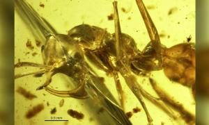 """Photo of """"Hell Ant"""" in amber. Profile view of a Linguamyrmex vladi worker head. Paleontology Department of the American Museum of Natural History, United States."""