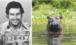 Study from international team of researchers shows introduced hippos in Colombia can restore a lost world. Left: Mugshot of Pablo Escobar. Right: A representation of hippo in a river.       Source: Left; Colombian National Police / Public domain, Right; Carl / Adobe stock