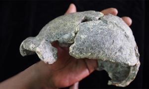 This small, gracile, almost complete cranium was found near Homo erectus tools in Ethiopia. Source: Dr. Michael J. Rogers, Southern Connecticut State University