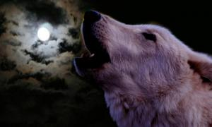 The wolf howls against the moon.
