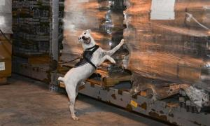 Striker, a U.S. Department of Agriculture brown tree snake detector dog, scratches at a cargo load notifying his handler that he has found a snake during a daily training session. Research has begun to see if dogs can detect smuggled antiquities too.