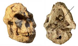 Little Foot's skull, with the arrow on the right-hand image indicating the specimen's atlas.      Source: R.J. Clarke/Author supplied