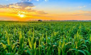 Sunrise over plantation, representation of lost crop field.       Source: somkak / Adobe stock