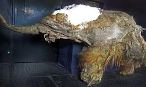 Using genetic material of this dead mammoth, Japanese researchers have taken the first steps in bringing mammoths back to life.