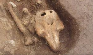 The porpoise remains. Source: Guernsey Archaeology