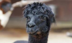 A black llama.