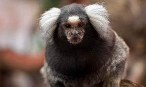 Monkeys Genetically Engineered with Human Brains!