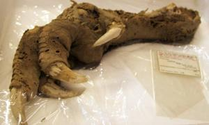 Preserved Megalapteryx (moa) foot, Natural History Museum.