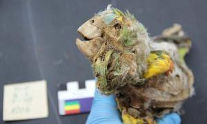 Amazonian Mummified Parrots Discovered in the Atacama Desert