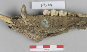 A pig's jaw found at the Navan Hill Fort site  Source: Dr Richard Madgwick / Scientific Reports
