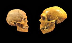 Comparison between the skull of a modern human (left) and a Neanderthal (right).