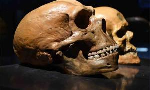 Neanderthal Brains Grew Larger With Greater Carbohydrate Consumption