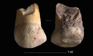 The discovery of an upper canine milk tooth that belonged to a Neanderthal child, aged 11 or 12, is believed to be about 48,000 years old. The discovery could help understand some of the last Neanderthals in Europe and why they became extinct. Source: Journal of Human Evolution.