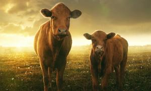 A new study of Neolithic pottery fragments has revealed ancient Britons were among the first people to farm dairy. Pictured: Cow and her calf in sunset. Source:  lassedesignen / Adobe stock
