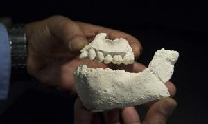 Casts of the jaws of Australopithecus deyiremeda